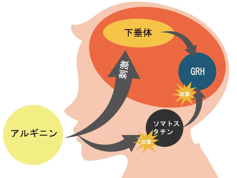 アルギニンが成長ホルモンを促進させる